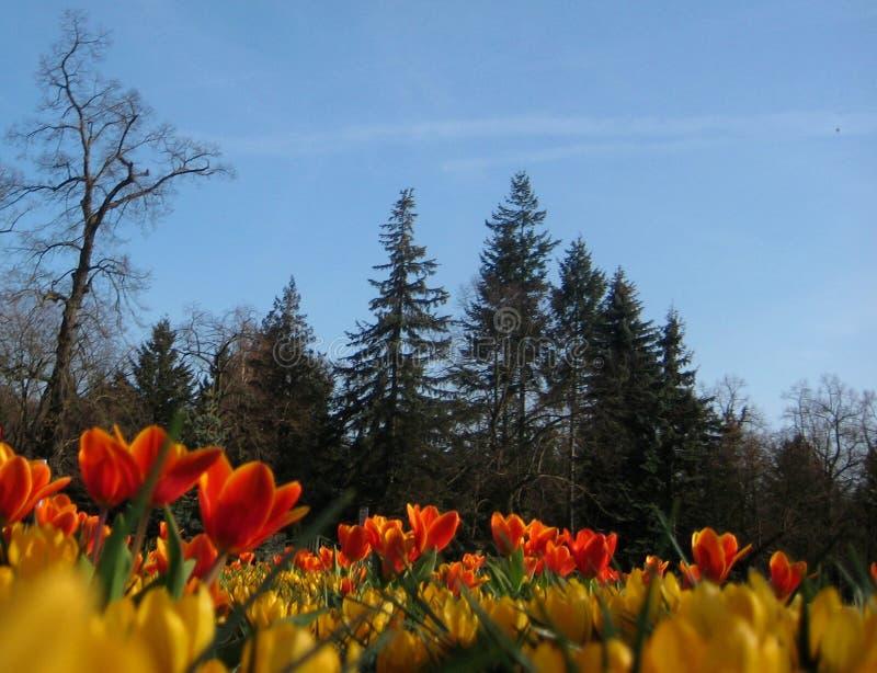 与秋天郁金香的宏观照片背景与瓣的红色和黄色颜色 库存照片