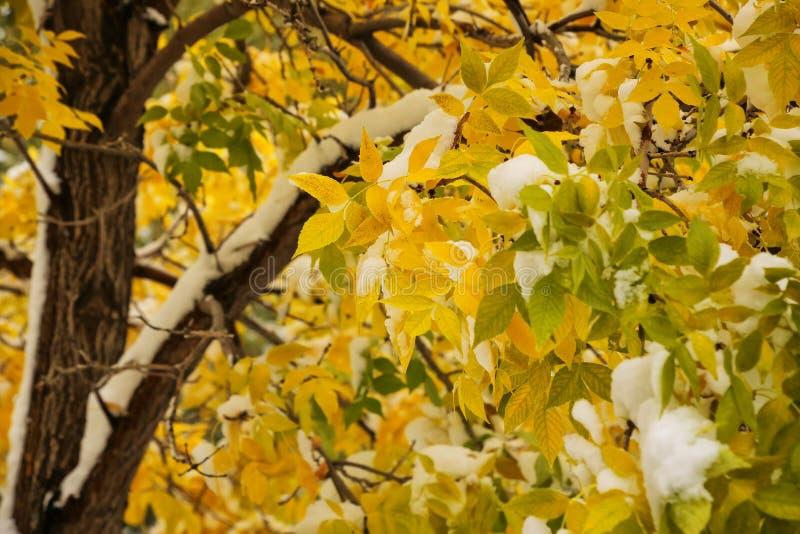 与秋天颜色和雪的绿色树 免版税库存照片