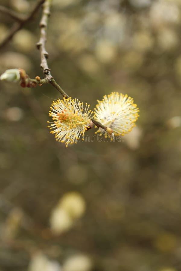 与种子头的褪色柳柳属caprea宏观图象在分支和被弄脏的背景 库存图片