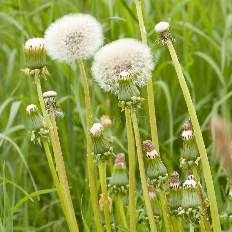 与种子的滑稽的闭合的退色的蒲公英 库存图片