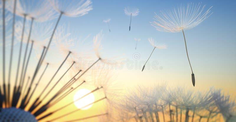 与种子的蒲公英在平衡的太阳 免版税图库摄影
