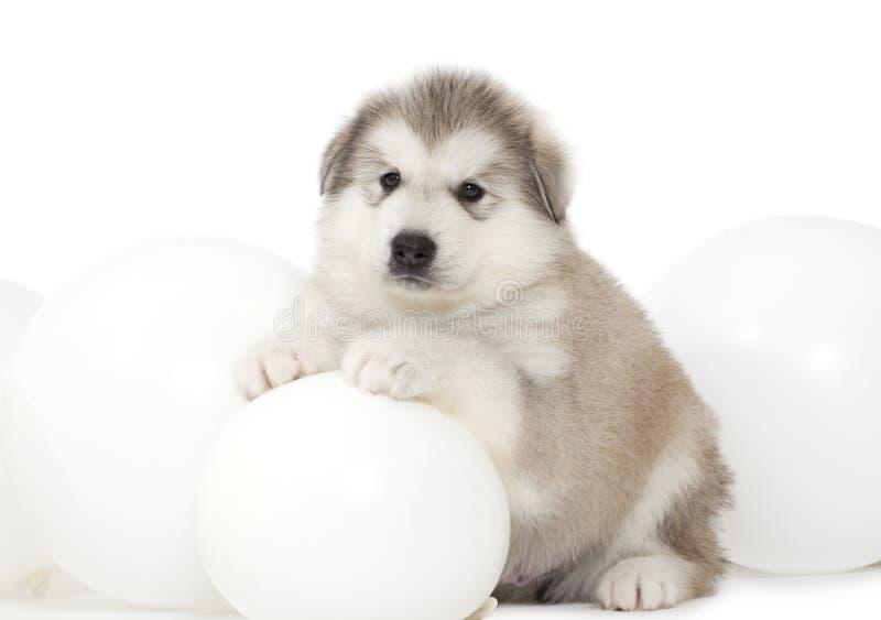与空白气球的阿拉斯加的爱斯基摩狗小狗 免版税库存图片