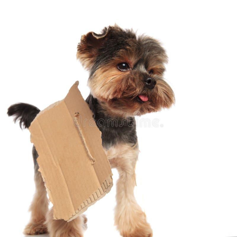 与空白的标志的好奇约克夏狗看支持 库存照片