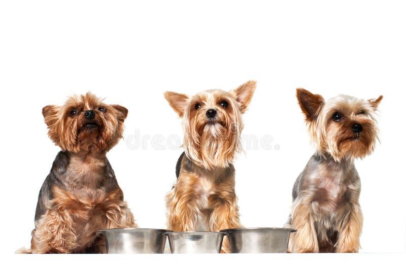 与空的盘的滑稽的饥饿的狗 免版税图库摄影