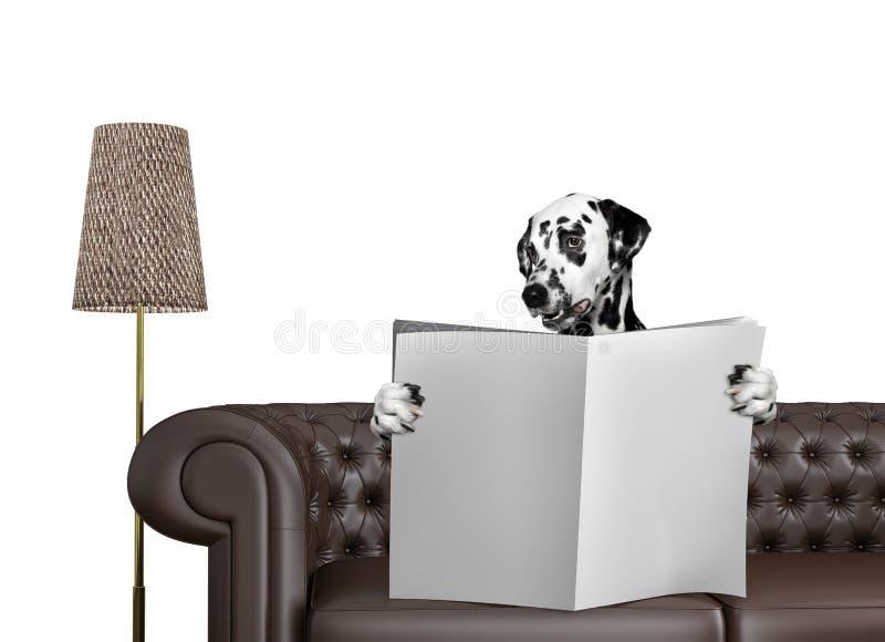 与空间的逗人喜爱的达尔马希亚狗读书报纸在沙发的文本的在客厅 查出在白色 图库摄影