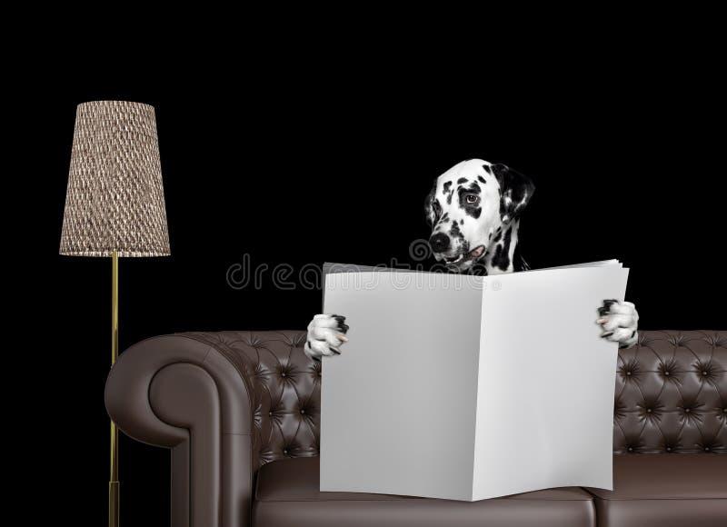 与空间的逗人喜爱的达尔马希亚狗读书报纸在沙发的文本的在客厅 查出在黑色 库存照片
