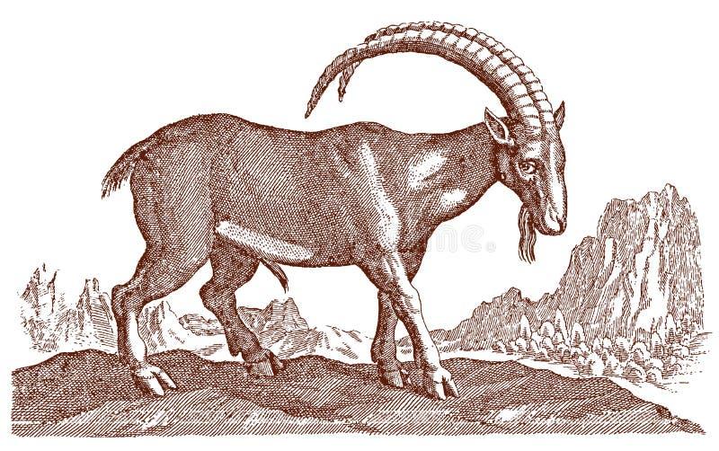 与站立在一个多山风景的大弯曲的垫铁的男性高山高地山羊山羊属 皇族释放例证