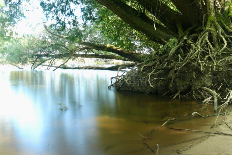 与站立在光滑的水中的大根的一棵大树 库存图片