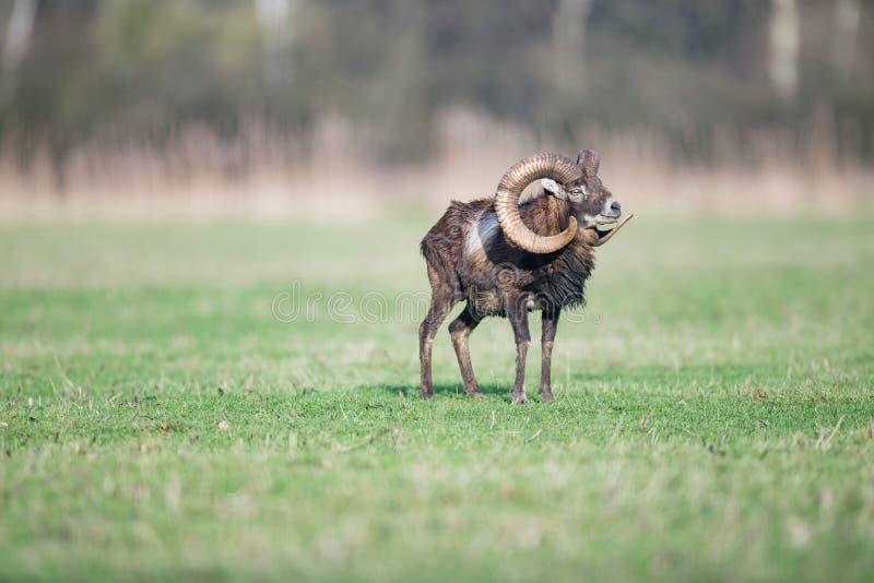 与站立在草甸的大垫铁的男性mouflon 图库摄影