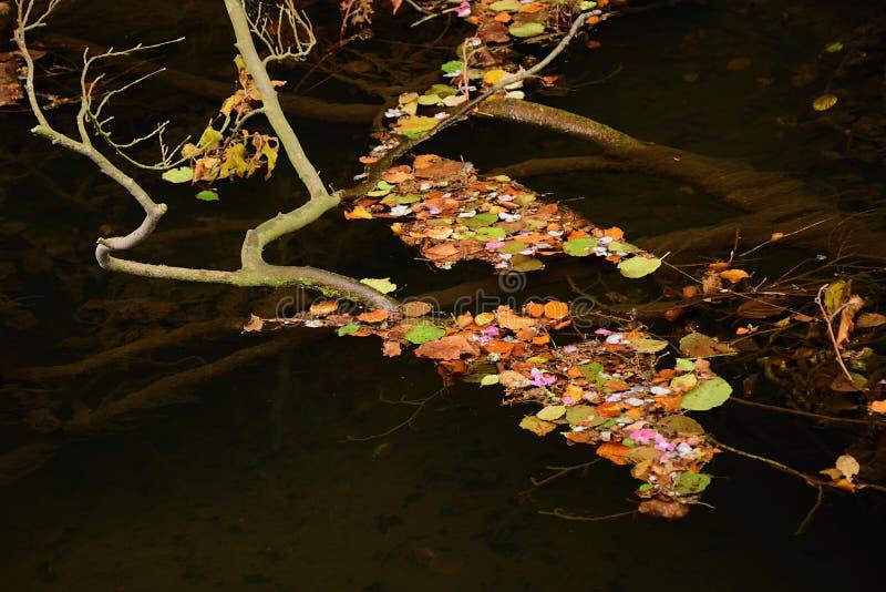 与第一下落的秋叶的树枝在水在斯坦贝奇村庄附近的Pressnitz河谷德国矿石山duri的 免版税图库摄影