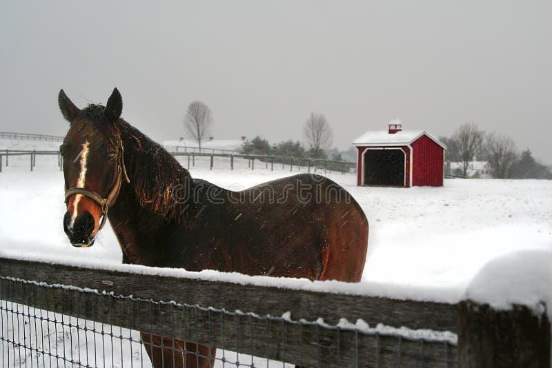 与等待一个访客的黑暗的海湾马的冬天风景在一个多雪的牧场地 库存照片
