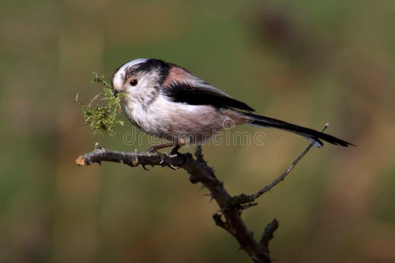 与筑巢材料的长尾的山雀 库存照片