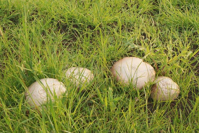 与米黄帽子的蘑菇在狂放的绿草 免版税库存图片