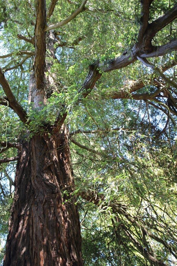 与粗糙的吠声的老树 免版税库存照片