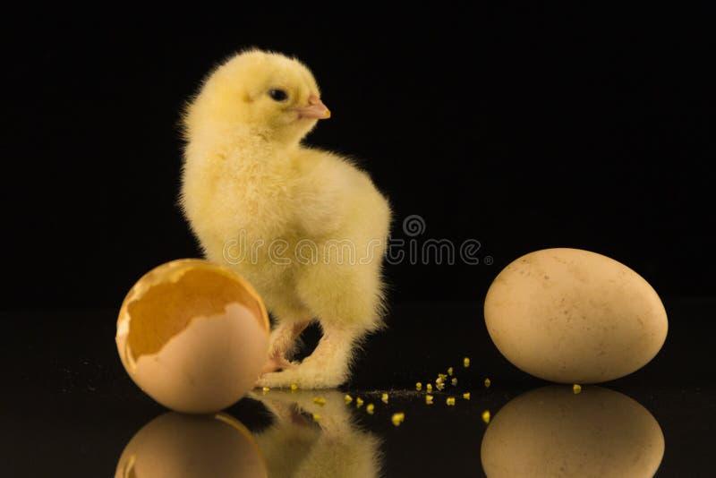 与粗野的爪子的一只小黄色新出生的鸡看鸡蛋预期孵化另一只小鸡 投反对票 免版税库存图片