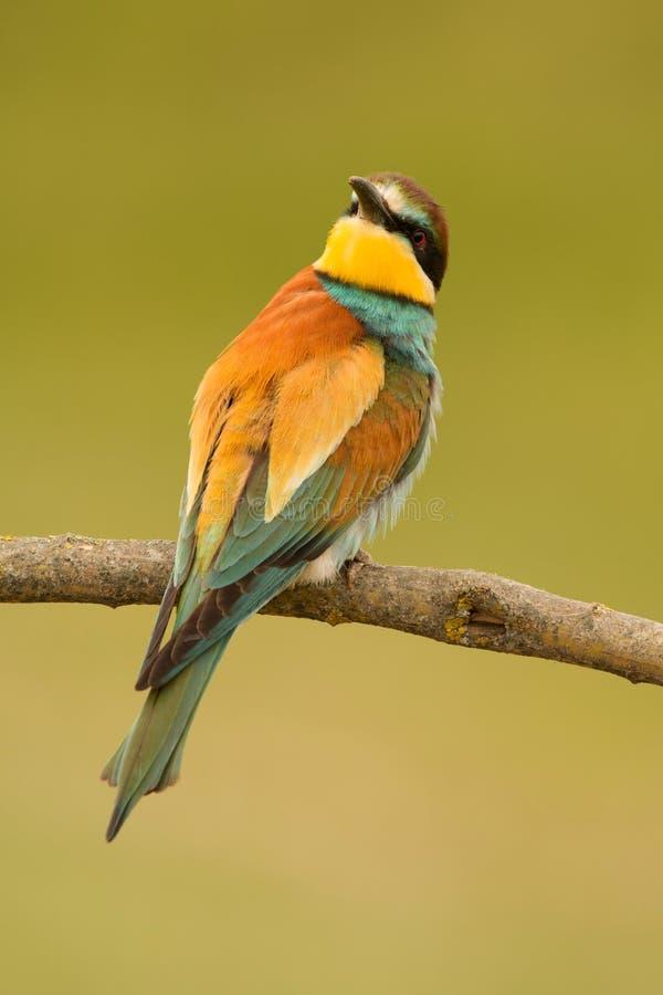 Download 与精密全身羽毛的小鸟 库存图片. 图片 包括有 发光, 唯一, 颜色, 鸟的监视人的, 敌意, 食者, 羽毛 - 72360543