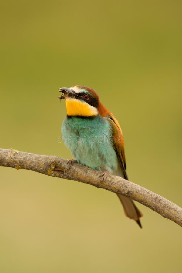 Download 与精密全身羽毛的小鸟 库存照片. 图片 包括有 欧洲, 鸟的监视人的, 目标, 双翼飞机, 烧杯, brander - 72360776