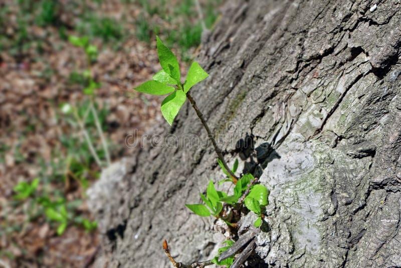 与精美叶子的年轻射击在一棵大树的吠声 免版税库存照片