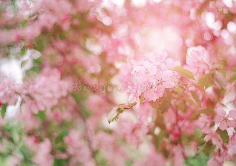 与精美桃红色花的树 苹果树在阳光下 库存照片