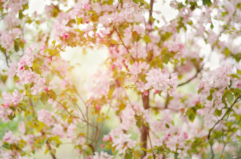 与精美桃红色花的树 苹果树在阳光下 免版税库存照片