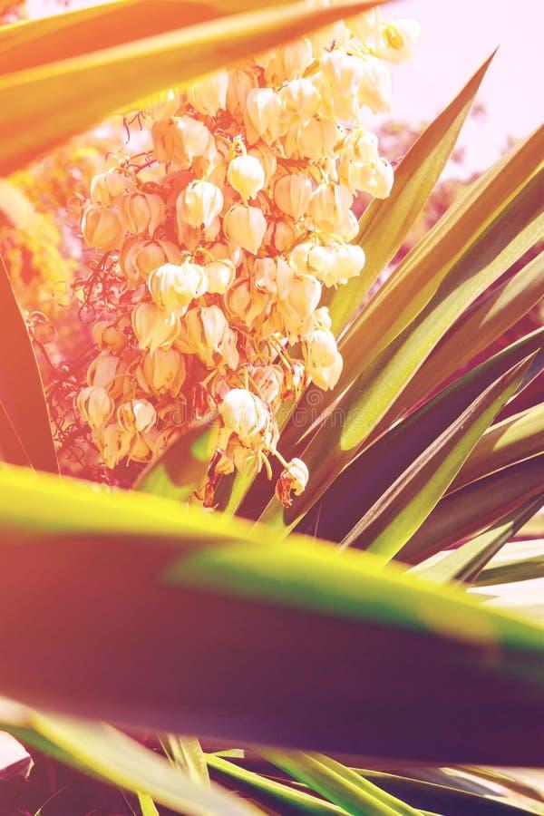 与精美白花和尖刻的绿色叶子的开花的丝兰棕榈树 美好的软的阳光 免版税库存图片