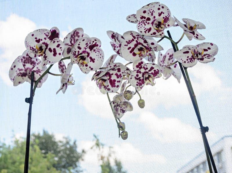 与紫罗兰小点兰花关闭的白色分支花, Phalaenops 免版税库存照片