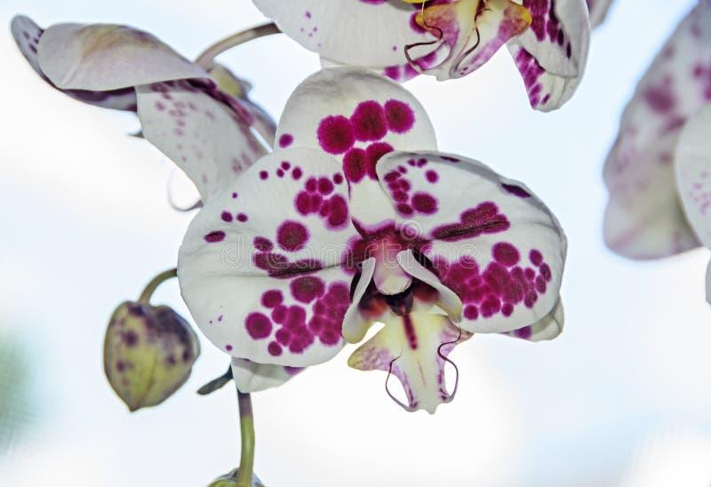 与紫罗兰小点兰花关闭的白色分支花, Phalaenops 图库摄影