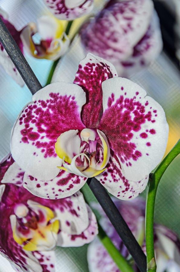 与紫罗兰小点兰花关闭的白色分支花, Phalaenops 免版税库存图片