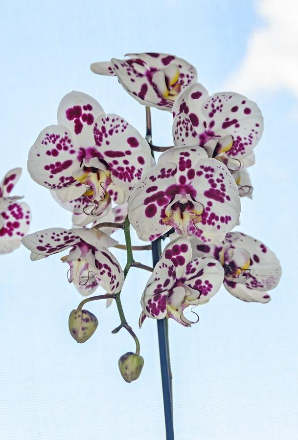 与紫罗兰小点兰花关闭的白色分支花, Phalaenops 免版税图库摄影