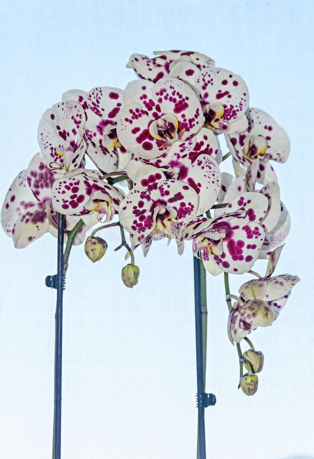 与紫罗兰小点兰花关闭的白色分支花, Phalaenops 库存图片
