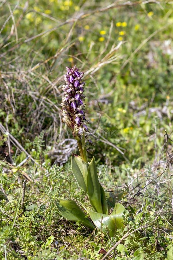 与紫罗兰色花的狂放的兰花Himantoglossum robertianum在它的自然生态环境增长 库存照片