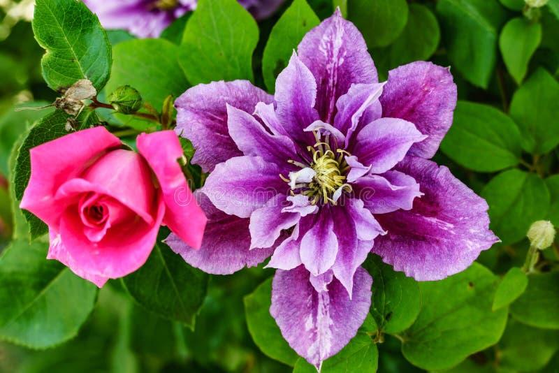 与紫罗兰色铁线莲属,宏观射击的美丽的桃红色玫瑰 库存照片