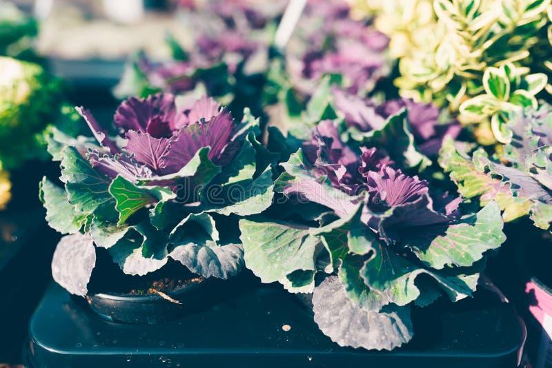 与紫色叶子的装饰圆白菜 免版税库存照片