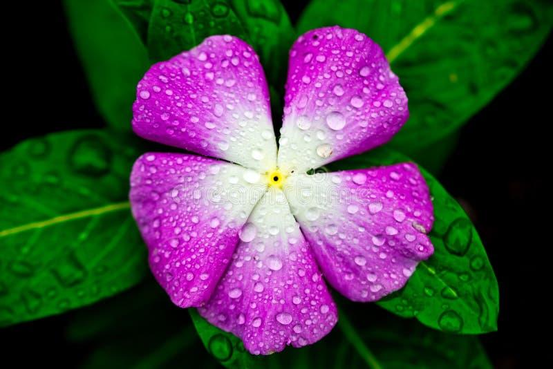 与紫色叶子盖子的宏观花有水滴的  免版税库存图片
