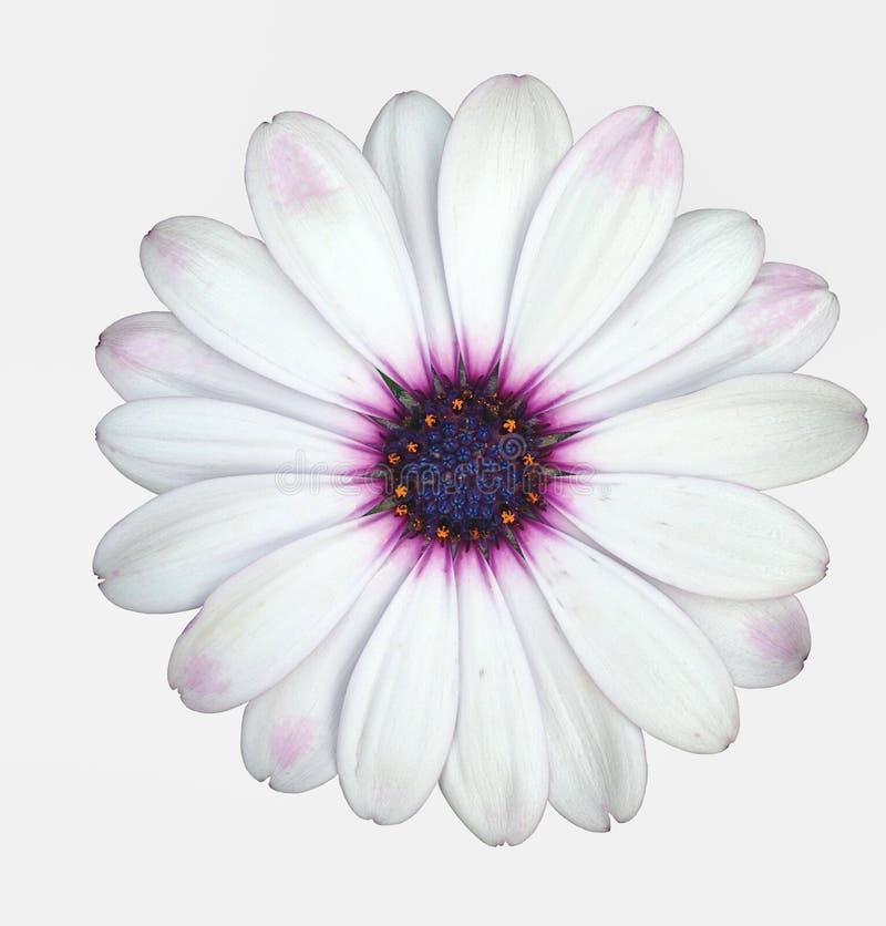 与紫色头状花序的一朵白色海角延命菊雏菊花 库存照片