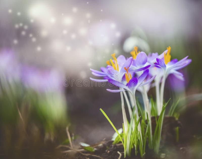 与紫色番红花开花和bokeh的美好的春天自然背景 免版税库存图片