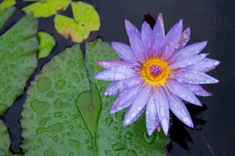 与紫色莲花的雨珠 免版税库存照片