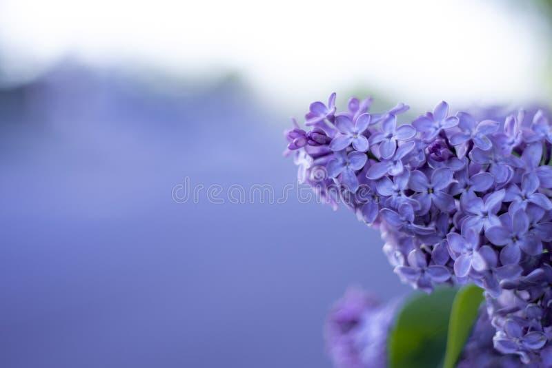与紫色bokeh的淡紫色花 免版税库存图片