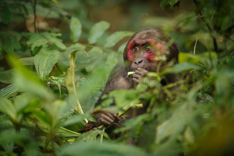 与红脸的树桩被盯梢的短尾猿在绿色密林 库存图片