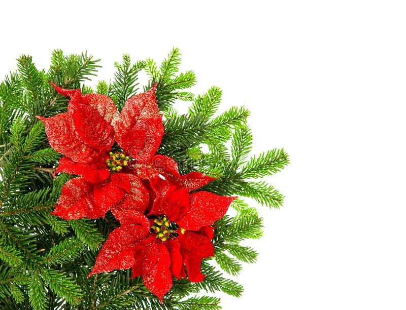 与红色一品红花的圣诞树分支在白色 库存图片