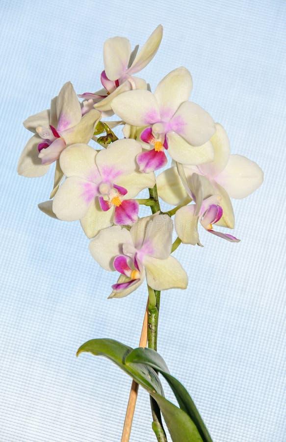 与红色兰花关闭的黄色分支开花,蓝色后面 免版税库存图片