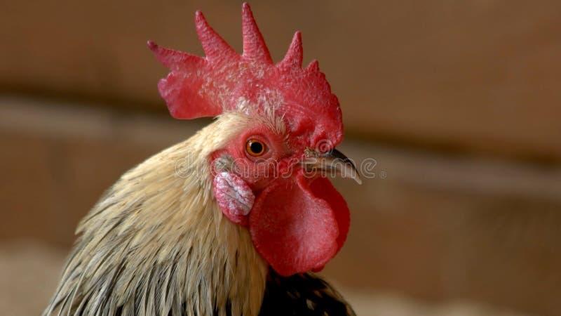 与红色冠的接近的雄鸡头的 库存图片