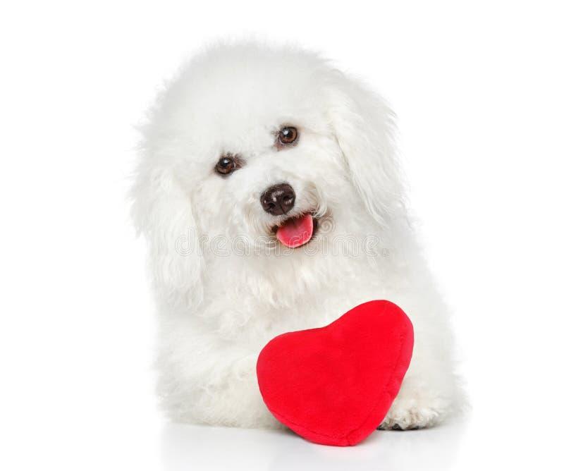 与红色华伦泰心脏的马耳他狗 免版税库存图片