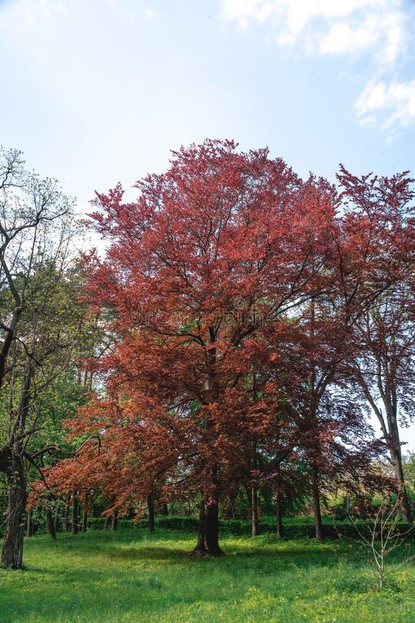 与红色叶子的大树在绿色树背景 Riversii,皇家红色,槭树垂直的照片,夏日 免版税图库摄影