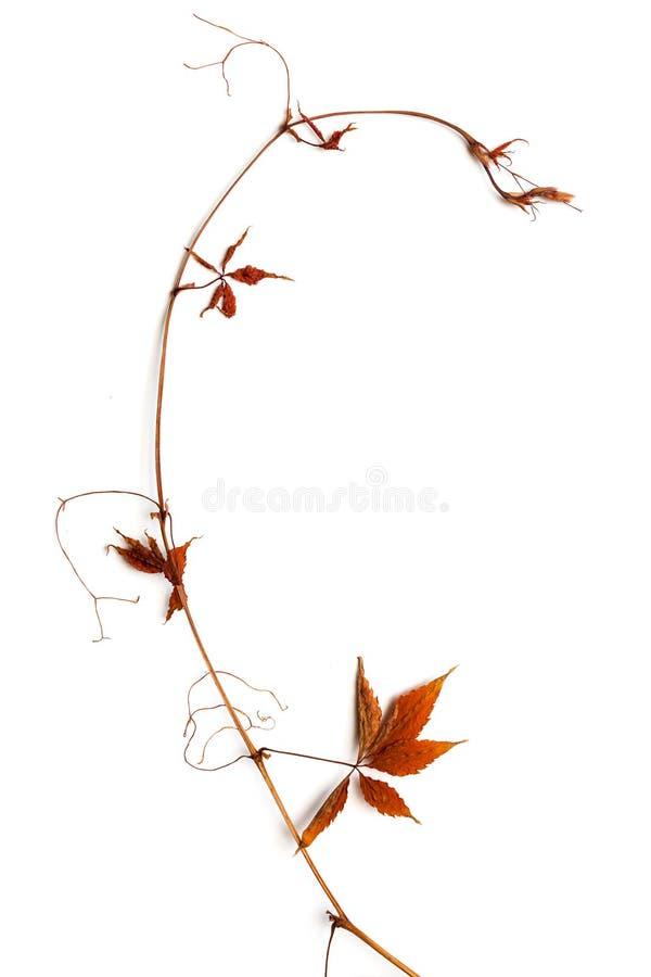 与红色叶子的干燥大树枝 免版税库存照片