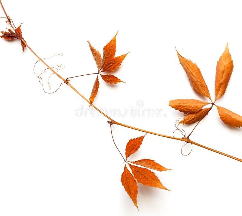 与红色叶子的干燥大树枝 库存照片