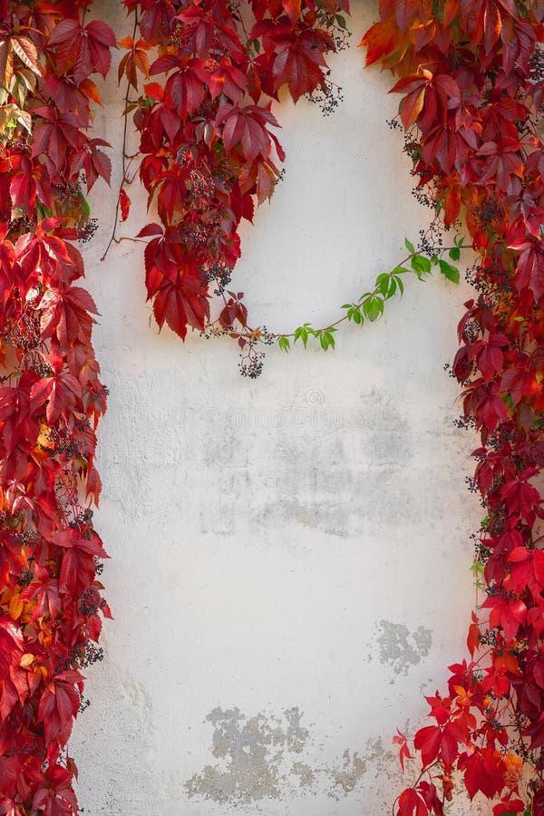 与红色叶子的秋天背景 在白色墙壁上的狂放的葡萄 警察 免版税图库摄影