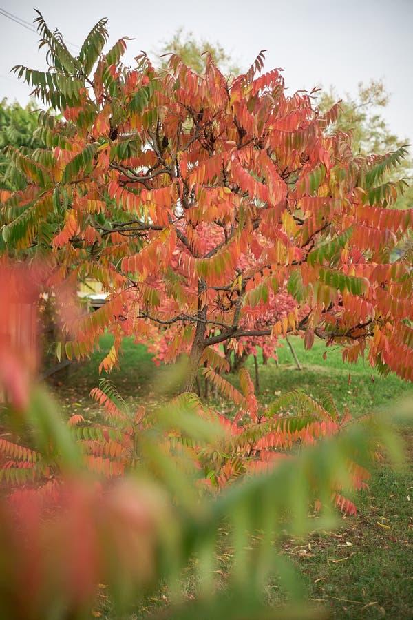 ?? 与红色叶子的美丽的树 库存照片