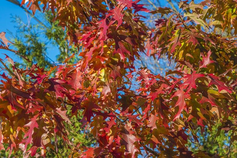 与红色叶子的美丽的秋天鸡爪枫树反对在天空蔚蓝 库存照片
