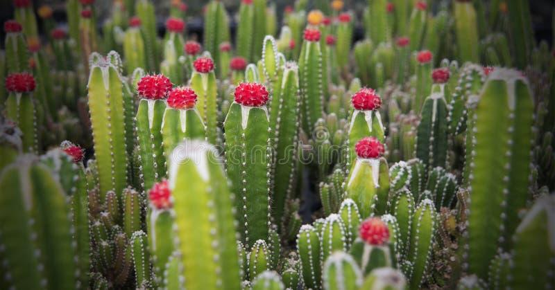 与红色和绿色的很多小仙人掌 免版税库存照片